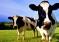 Ученые из Института биологии сельскохозяйственных животных им. Лейбница (Германия) научили телят справлять нужду в специальных коровьих туалетах