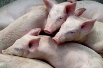 Как будет выглядеть мировой рынок свинины к 2030 году. Прогноз Еврокомиссии