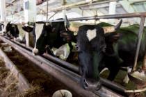 Запущен новый животноводческий комплекс на 400 голов КРС в Свердловской области