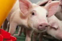 Американских свиноводов штрафуют на огромные суммы