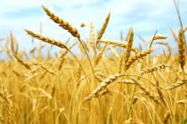 О ситуации на рынке зерна (22 — 28 января 2018 года)