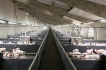 ГК «Агропромкомплектация» построит три свиноводческих комплекса и одну ферму КРС