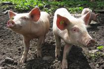 Шотландские ученые выводят устойчивых к АЧС свиней