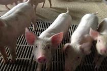 «РусАгро» завезет в Приморье три тысячи племенных свиней