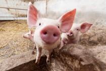 В Омской области 1220 ЛПХ откажутся от разведения свиней из-за АЧС