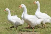 В Башкирии ученые ищут 335 млн рублей для селекционного проекта по разведению гусей и уток