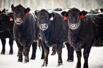 Мираторг завезёт в Орловскую область 14 тысяч бычков из Австралии