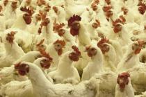 В Тюменской области птичий грипп под контролем
