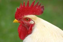 «Агрокомплекс» им. Ткачева может купить «Белую птицу»