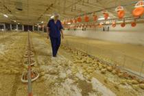 Тюменские птицефабрики модернизируют производство