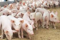 За первый квартал 2018 года в Татарстане произведено 19,7 тыс. тонн свинины