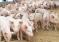 Холдинг «Агро-Белогорье» намерен разводить канадских свиней
