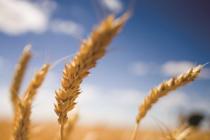 О ситуации на рынке зерна с 15 по 21 мая 2018 г.