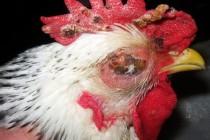 Оспа птиц (дифтерия птиц) – контагиозная болезнь птиц отряда куриных, голубиных, воробьиных.