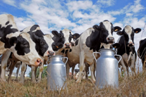Рейтинг хозяйств – лидеров по производству молока в Оренбургской области