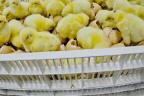 Через аэропорт «Кольцово» ввезена партия племенных суточных цыплят в количестве 31220 голов из Франции