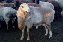 Сравнительная характеристика экстерьерно-конституциональных особенностей молодняка овец казахской курдючной породы различных линий в фермерском хозяйстве «Карагайлы»