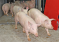 Генное редактирование превращает простых свиней в супер-животных