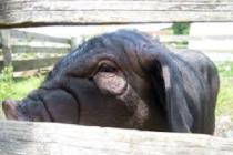 В 2017 году в Пекине была закрыта 321 свиноферма