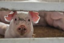 Комбикормовый завод и новый свинокомплекс построят в Тверской области