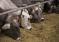 Закупочные цены на скот по мясоперерабатывающим предприятиям Оренбургской области на 01.10.2018 года