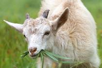 Потребления продукции из козьего молока растет на десятки процентов в год
