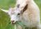 Внесены изменения в порядок предоставления субсидии на развитие овцеводства и козоводства в Оренбургской области
