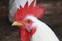 Производители птицы просят господдержки. Из-за экспорта зерна рентабельность в птицеводстве упала до 7%