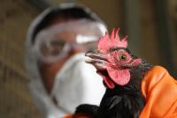 В Курской области обнаружили птичий грипп