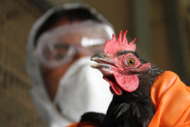 На птицефабрике «Владимировская» вспышка птичьего гриппа