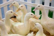 «Башкирская птица» создаёт уникальный генофонд гусей