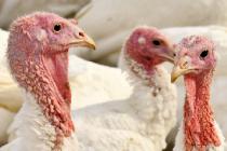 В Саратовской области выставлен на продажу крупный птицеводческий проект