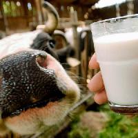 Россельхознадзор назвал регионы с наибольшим оборотом фальсифицированного молока