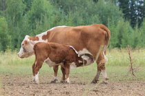 Внесены изменения в федеральный закон «О племенном животноводстве»