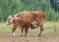 Ученые из ВНИИ животноводства имени Л. К. Эрнста, Сколтеха, МГУ и их коллеги получили первого в России жизнеспособного клонированного теленка