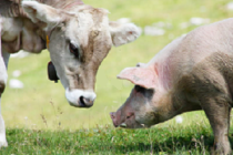 Закупочная цена КРС и свиней по ПФО на 3 августа 2018 года
