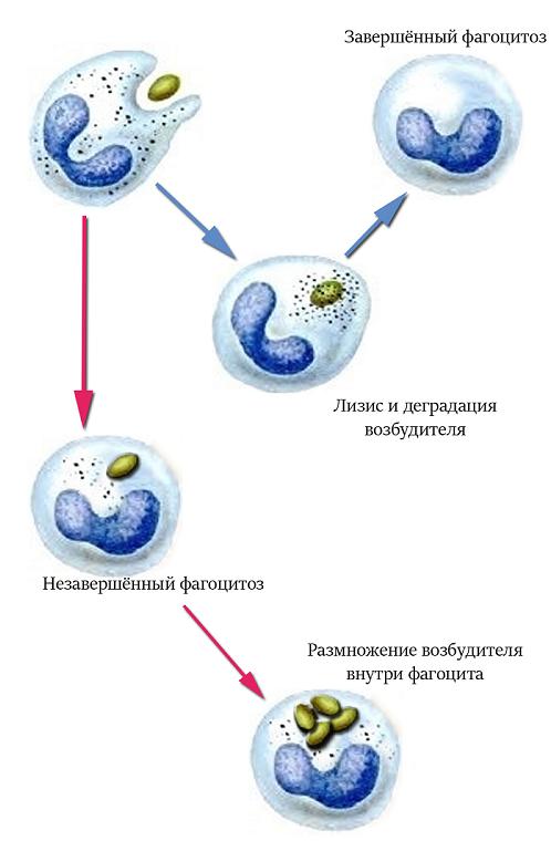 fagocitoz-zavershenniy