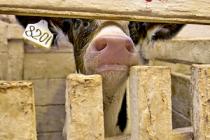 В Челябинской области поддержать ЛПХ призвана программа осеменения животных