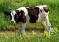 В ФГБУ «ВНИИЗЖ» издано лекционное пособие «Лейкоз крупного рогатого скота – современная концепция»
