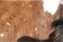 Выявлена очередная вспышки заразного узелкового дерматита КРС на территории Челябинской области