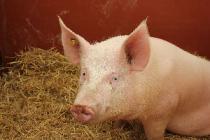 Вирус африканской чумы свиней зарегистрирован на территории Тверской области