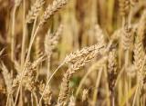 О ситуации на рынке зерна с 18 по 24 сентября 2018 года