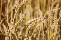 Ситуация на рынке зерна с 5 по 8 ноября 2019 года