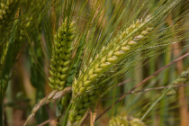 Ситуация на рынке зерна с 8 по 12 июля 2019 года