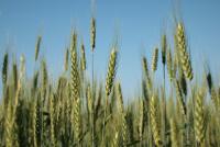 Ситуация на рынке зерна с 15 по 19 октября 2018 года