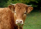 Очаг бруцеллеза крупного рогатого скота в Акбулакском районе Оренбургской области
