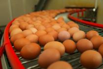 Удмуртские птицеводы отправили в ОАЭ вторую партию куриных пищевых яиц