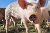 «Русагро» подтвердил факт заражения ящуром животных на одном из свинокомплексов