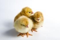 Особенности бактериологических исследований цыплят, экспериментально инфицированных Salmonella enteritidis, на фоне применения пробиотического биокомплекса