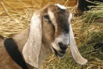 Молочная продуктивность и состав молока коз нубийской породы американской селекции в зависимости от линейной принадлежности